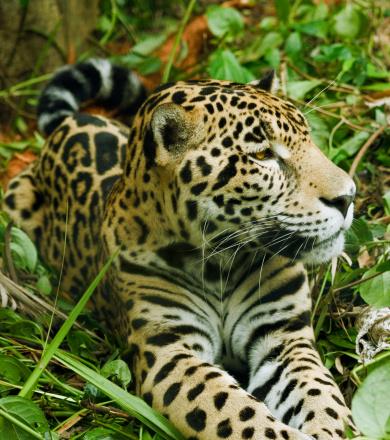 Jaguar Preserve