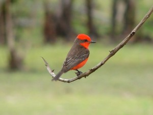 Vermilion Flycatcher at Crooked Tree