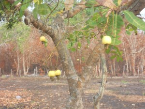 Cashew Tree - Fruit and Seed