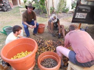 Separating Cashew Fruit from Seeds to Make Wine