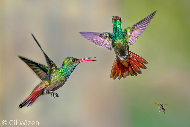 Courtship_between _Two_Rufous_Tailed_Hummingbirds