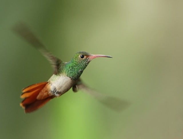 Rufous-tailed Hummingbird Courtesy of Neotropical Birds Online