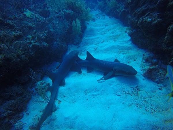 Sharks at Hol Chan