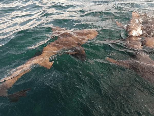 Sharks at Shark Ray Alley