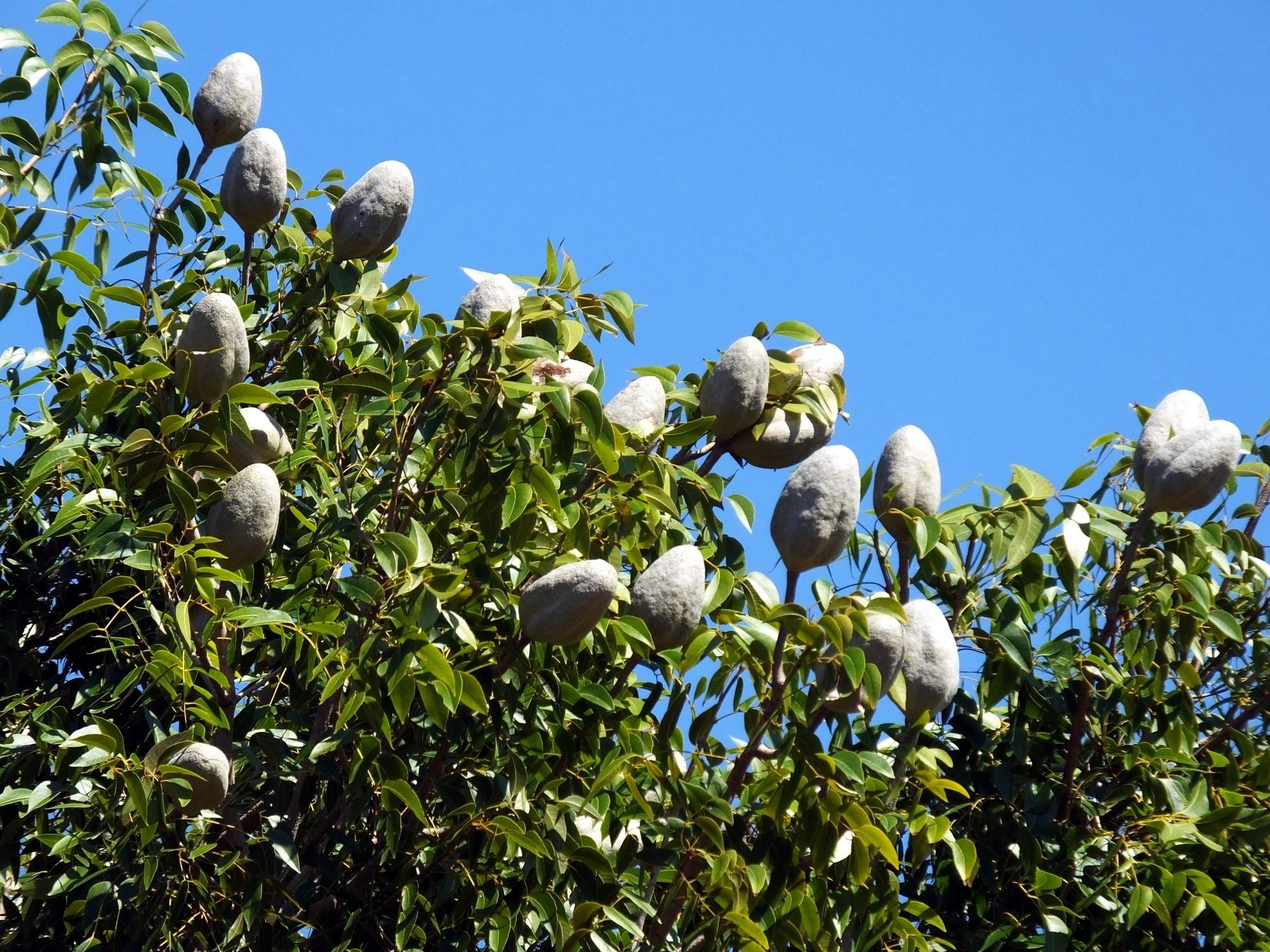 Mahogany Tree Fruit, Belize