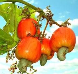 cashew_fruit_on_tree.jpg