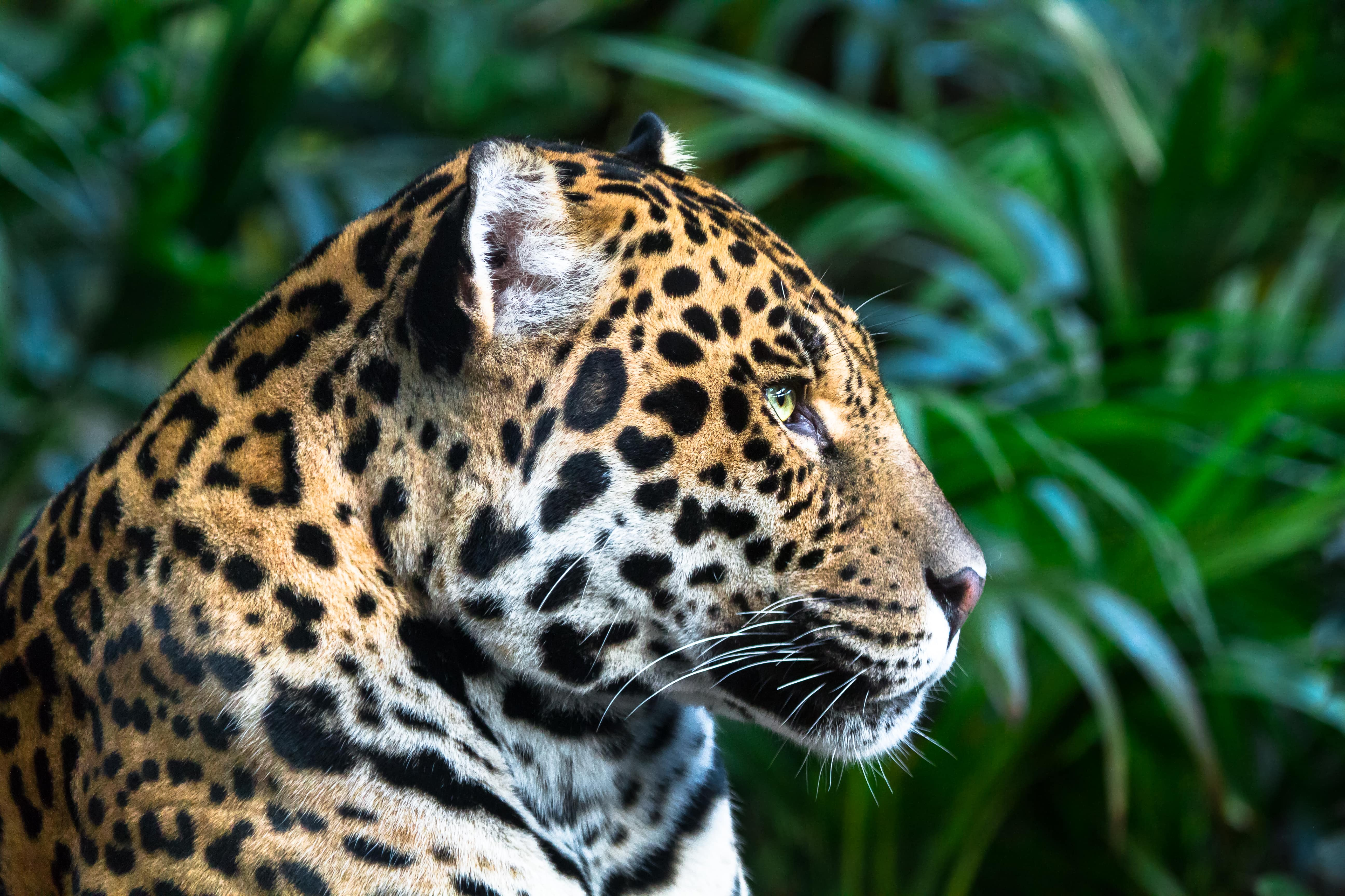 jaguar-looking-into-the-distance